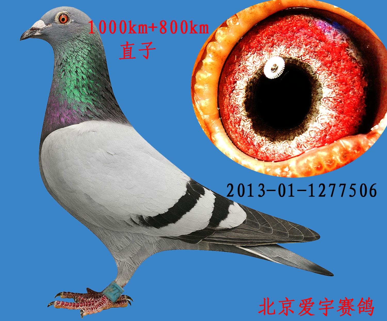 北京/北京爱宇赛鸽